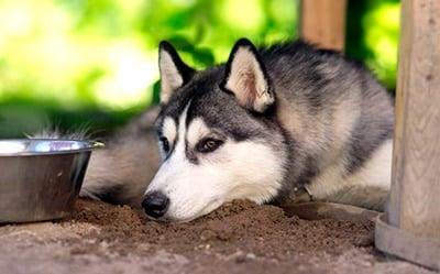 perro decaido por la fiebre
