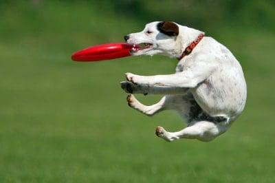 perro con frisbee