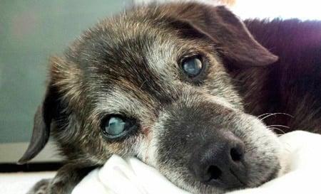 perro con ojos grisaceos