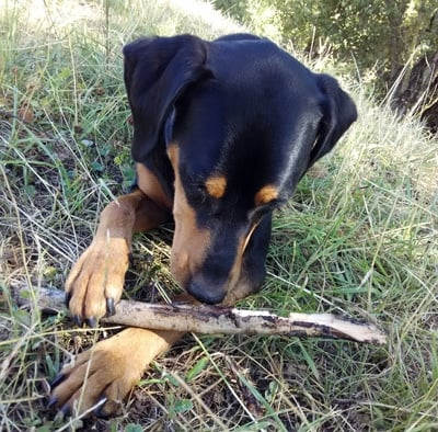 perro comiendo una rama
