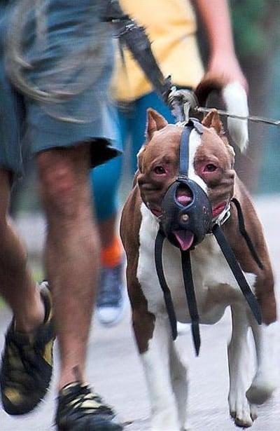 perro pitbull de raza peligrosa