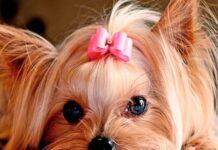 perro con moño