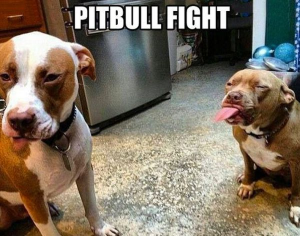 pitbull-luchando