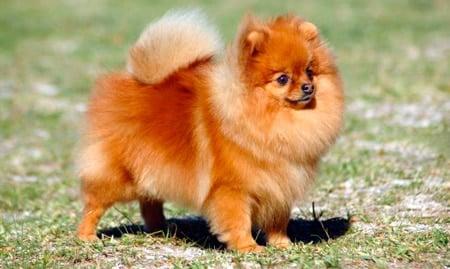 Resultado de imagen para perros pequeños