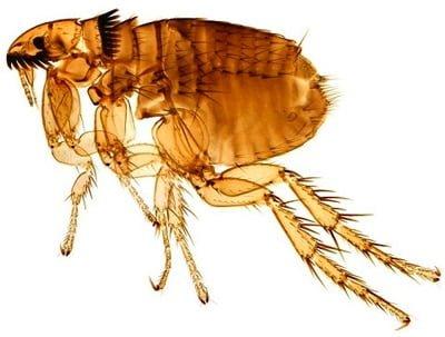 pulgas de un perro