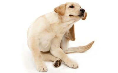 pulgas en perros rascandose