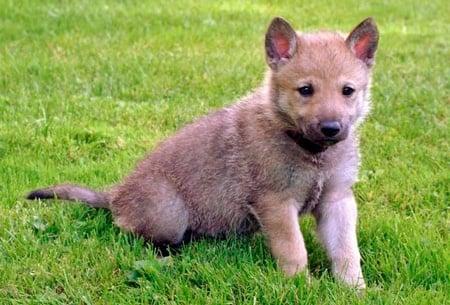 cachorro de perro lobo checoslovaco
