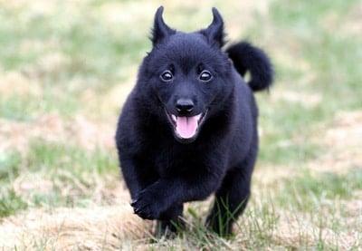 schipperke-cachorro