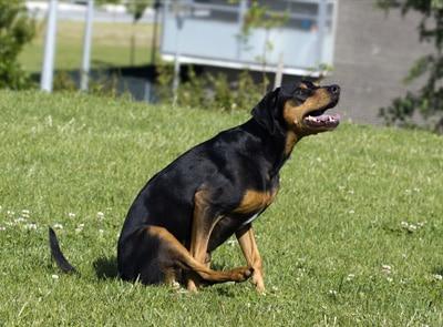 mi perro arrastra el culo