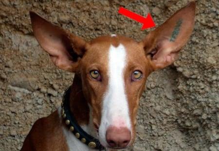tatuar identificación perro en oreja
