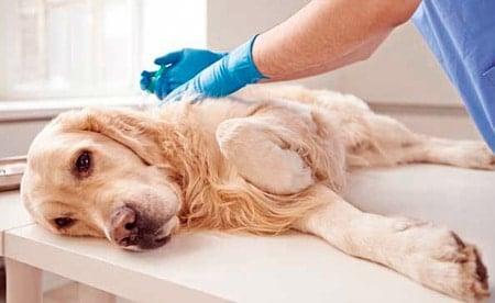 tramadol en un perro en veterinario