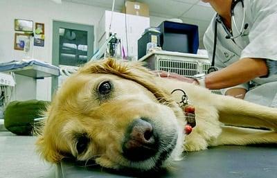 perro en el veterinatio por picadura de oruga