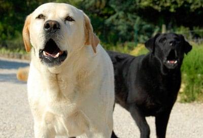 ladridos de perros